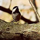 Chickadee by bethany helzer
