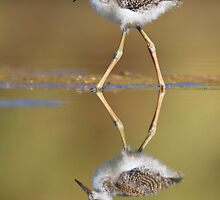 Baby Black Necked Stilt by Bryan  Keil