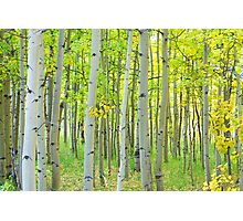 Aspen Tree Forest Autumn Time Photographic Print