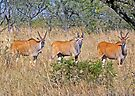 Eland Trio by Graeme  Hyde
