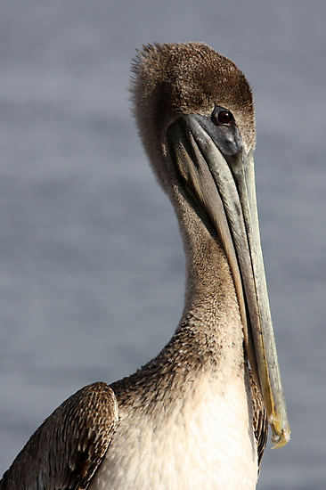 Proud Pelican by AuntDot
