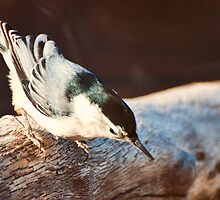 White-breasted Nuthatch by barnsis