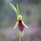 Purple Beard Orchid by Ian Robertson