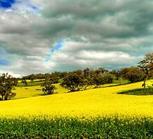 Golden Canola by Boyd Nesbitt
