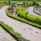 Balinese farmer plowing flooded rice paddy by Michael Brewer