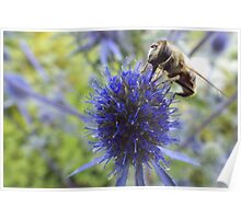 Solitary Bee feeding on Sea Holly nectar Poster