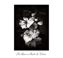 The Roses in Black & White by LouiseK