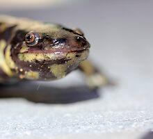 Tiger Salamander  by Jazzy724