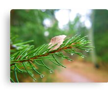 Water droplets on fir tree Canvas Print