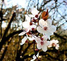 Cherry blossom by SusieMcLaren