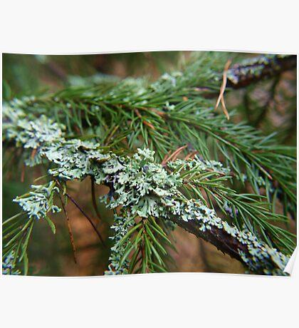 Lichen on fir branch Poster