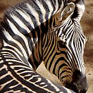 Zebra Time Out by © Loree McComb