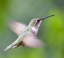 Hummingbird, Mt Robson, BC by Andy Townsend