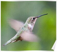 Hummingbird, Mt Robson, BC Poster