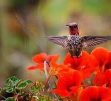 Hummingbird Rising From Red Flower by Jeannette Katzir