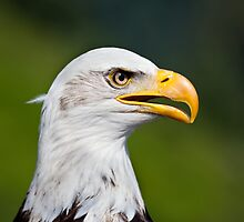 Bald Eagle, Grouse Mountain, BC by Andy Townsend