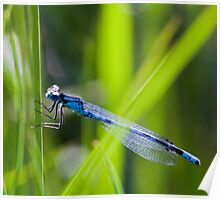 Dragonfly, Mt Robson, BC Poster