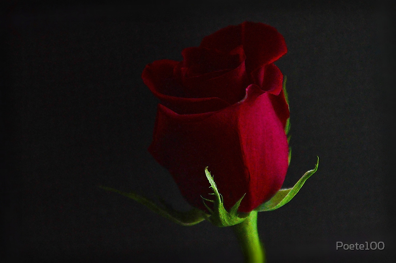 Red Red Rose by Poete100