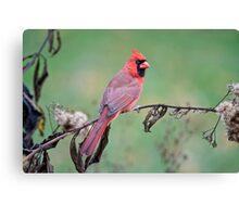 Male Northern Cardinal Canvas Print