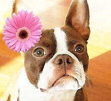 Boston Terrier - Blushing Bride by Sharon Cummings