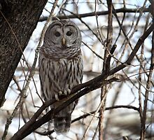 In The Thick Of Things/ Barred Owl by Gary Fairhead