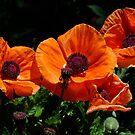 Pop Eye Poppies by Gabrielle  Lees