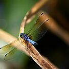 dragonfly at rest by Stephanie Aughenbaugh