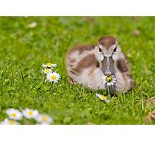 Gosling with Daisy Photographic Print