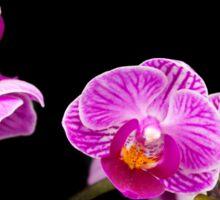 Pink Orchids Sticker