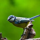 Blue tit by Nicole W.