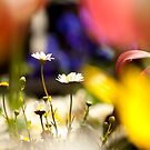 Colorful Daisies by Kuzeytac