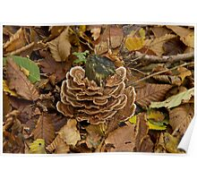 Turkeytail Fungus Poster