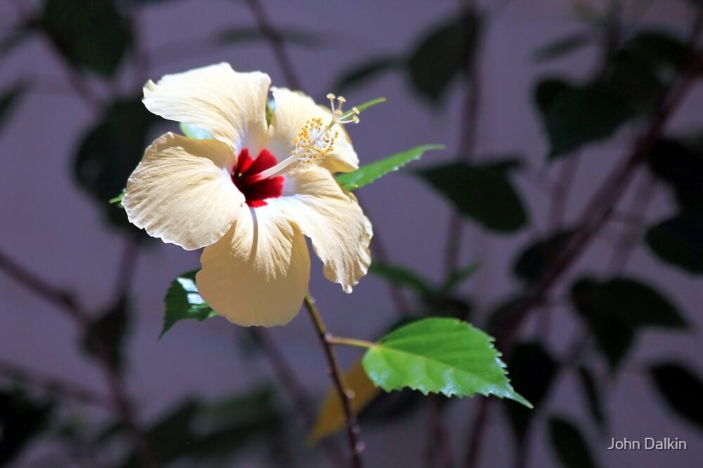 Hibiscus Shadows by John Dalkin