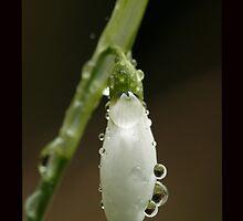 The First Snow Drop by John Gaffen