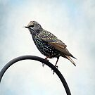 European Starling ~ by Renee Blake