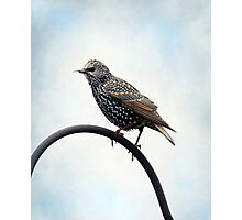 European Starling ~ Photographic Print