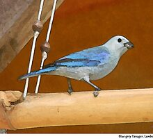 Blue-grey Tanager, Lambeau, Tobago. by santimanitay