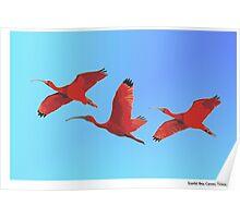 Scarlet Ibis, Caroni, Trinidad. Poster