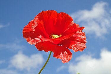 The Single Poppy by AH64D