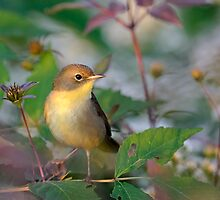 common yellowthroat by Christian Hunold
