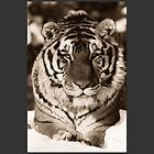 Tiger in Black & White by SOIL