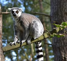 Ring-tailed lemur by bobbykim666