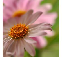A Touch of Pink ~ Photographic Print