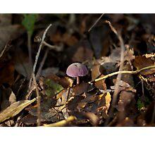 Amethyst Deceiver Fungus Photographic Print