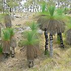 Among the Xanthorrhoea  by Graeme  Hyde