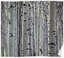 Silver Birch Forest, Jasper National Park, AB Poster