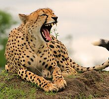 I am a little tired after catching and eating that impala!! by jozi1