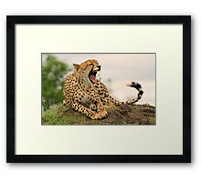I am a little tired after catching and eating that impala!! Framed Print