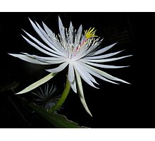 Night Blooming Orchid Cactus Photographic Print