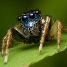 (Menemerus bivittatus) Jumping spider by Kerrod Sulter
